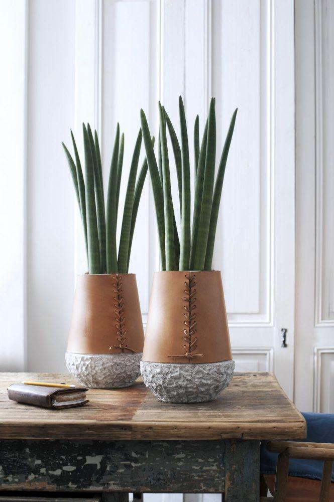 5 PLANTES D'INTERIEUR QUASI INCREVALES Sansevierias-cylindriques